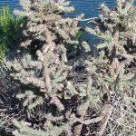 Colorado - Lake Pueblo State Park Cactus - Cylindropuntia