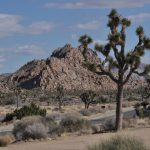 Joshua Trees on the South Park Blvd in Joshua Tree National Park, Calif